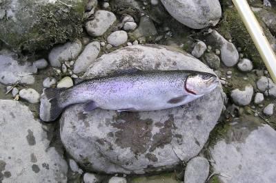 trota iridea dell'Adige